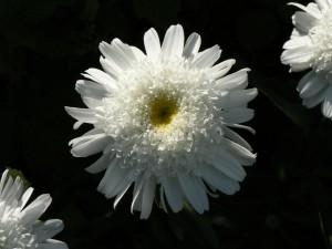 Black-&-White-Gerber