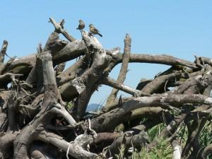 Victoria birds